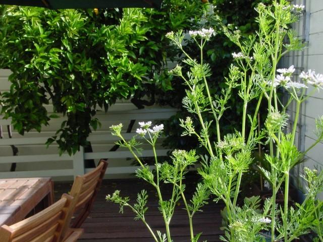 Цветение кориандра начинается в конце июня и длится примерно месяц