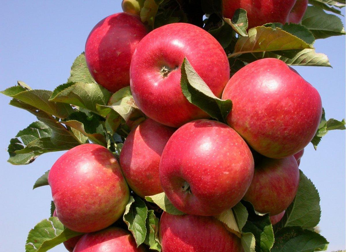 запашный сорта ранних сладких яблонь фото баталов впервые увидел