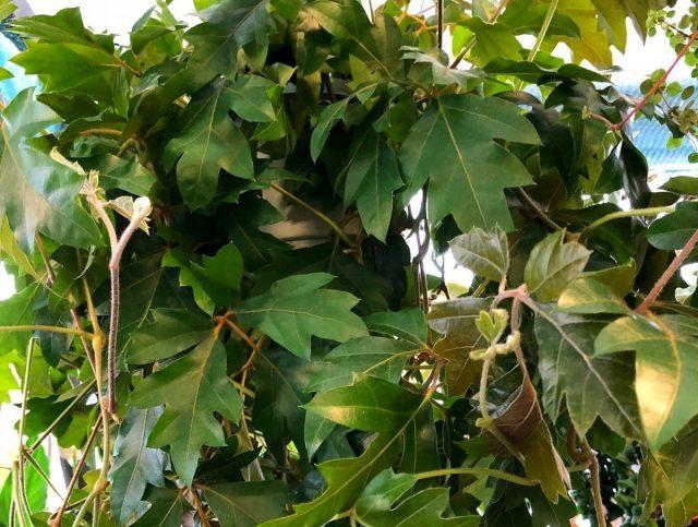 Циссус ромболистный «Эллен Даника» (Cissus Rhombifolia 'Ellen Danica')