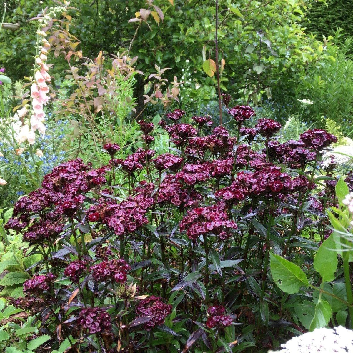 Dianthus-barbatus-Sooty-2
