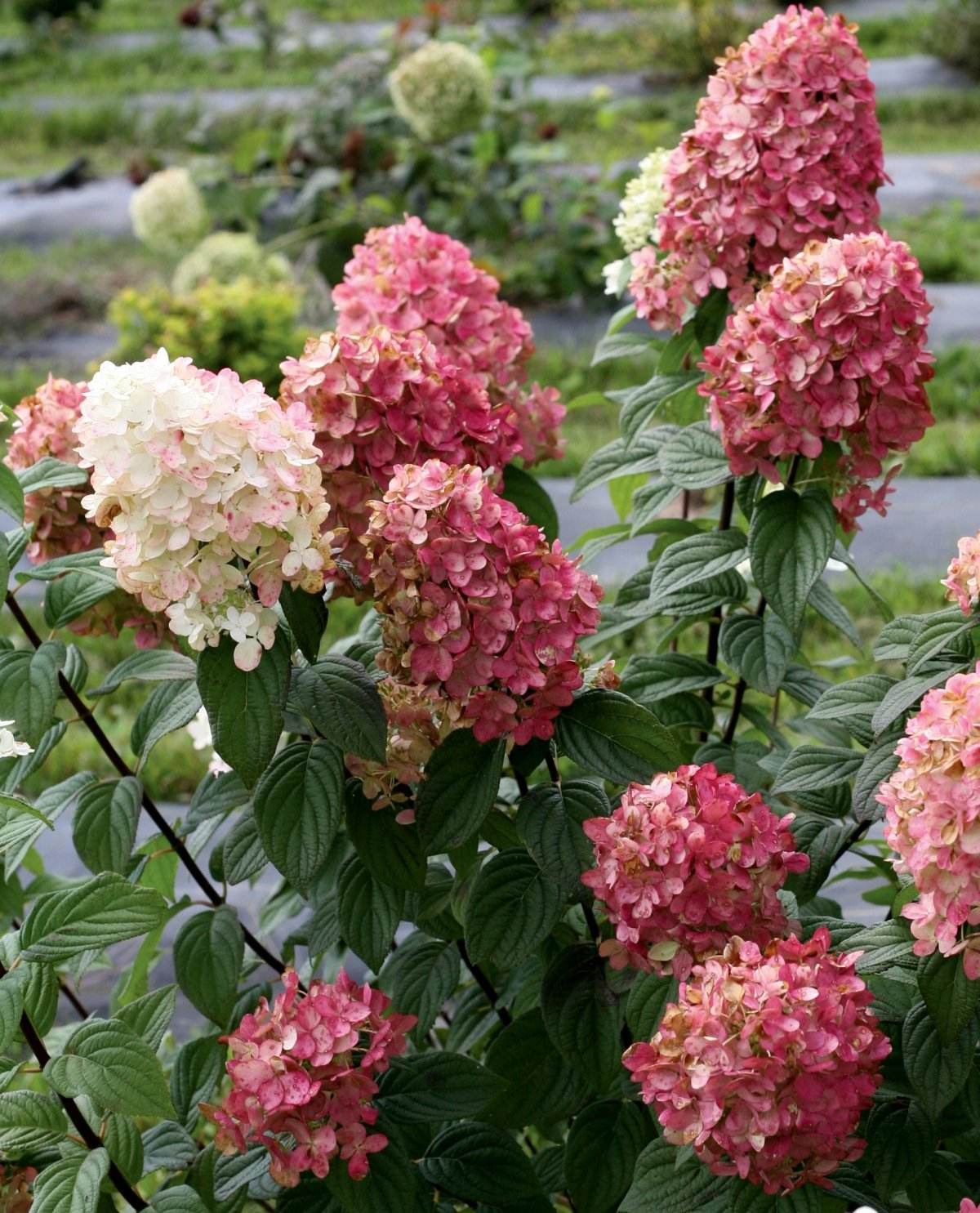 Hydrangea-paniculata-Fire-Light-1