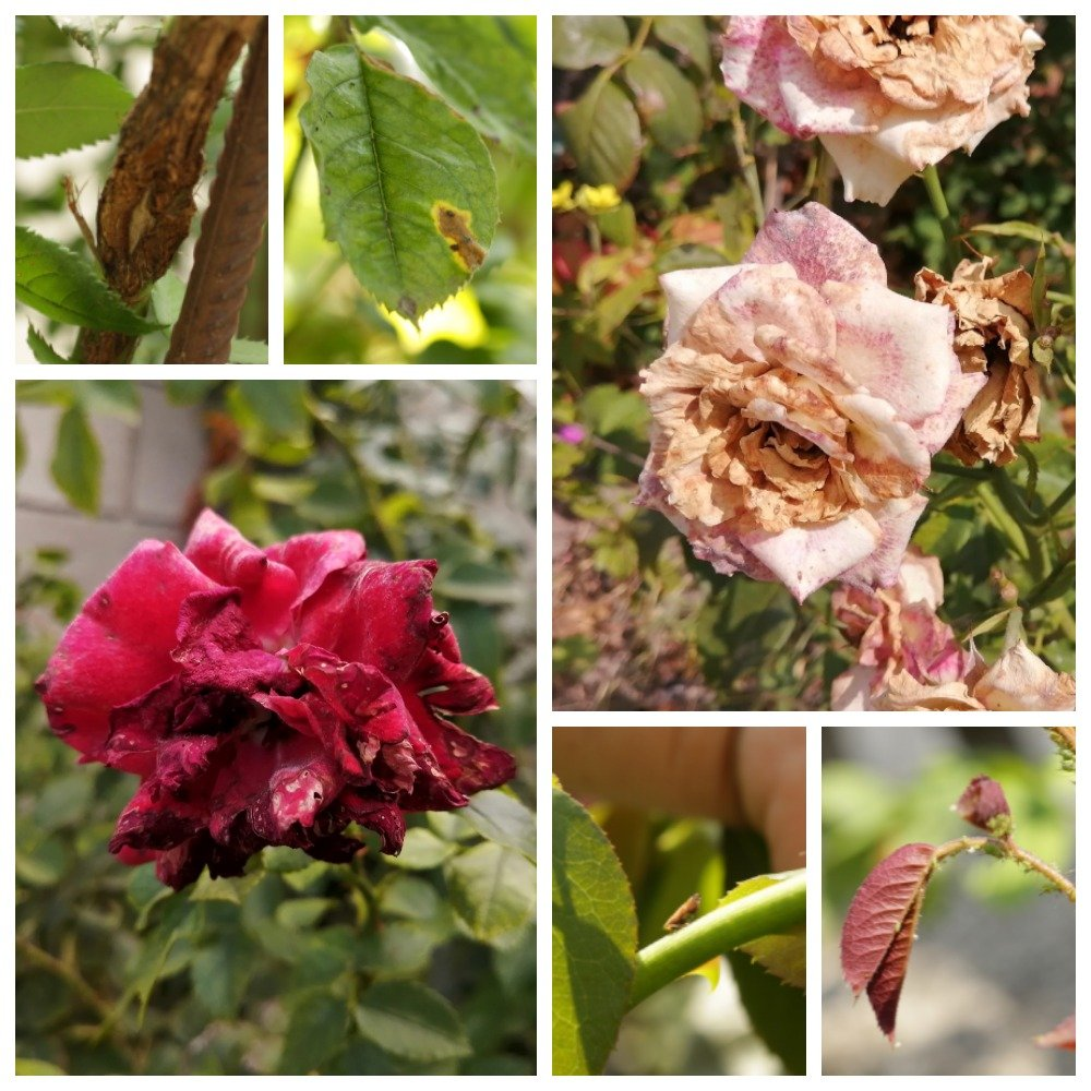Вредители и болезни роз в картинках