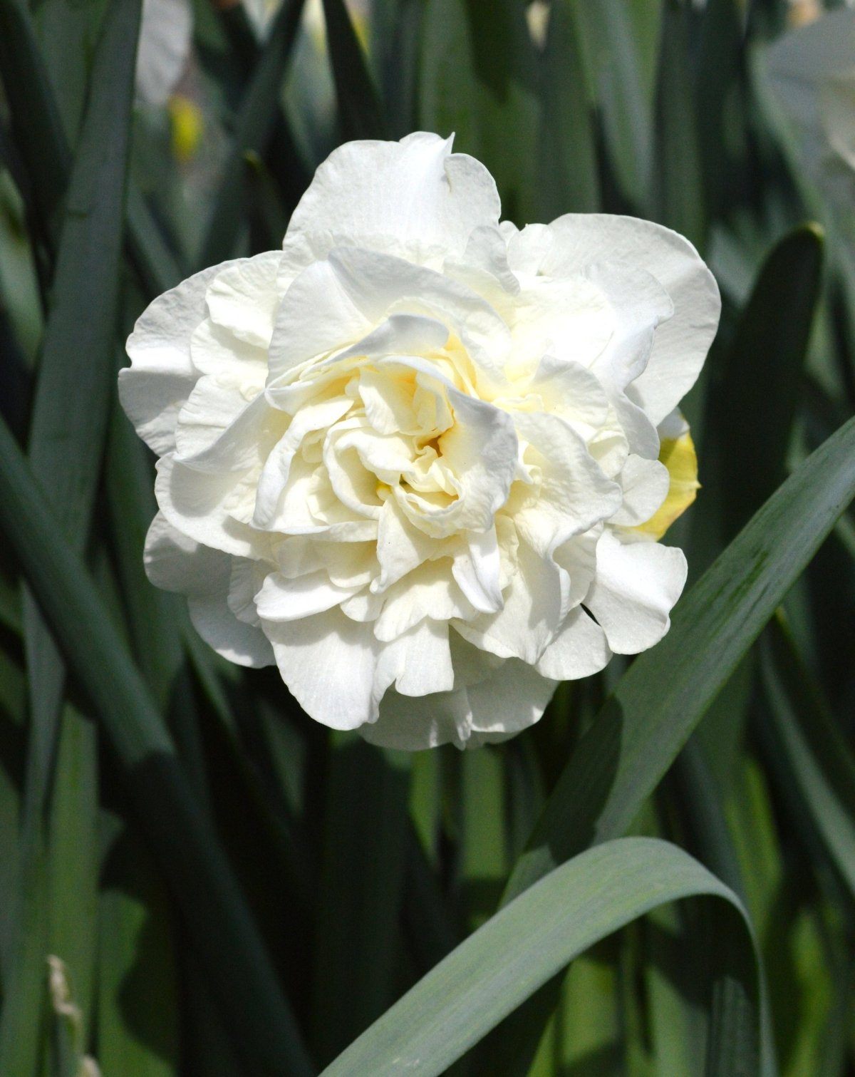Narcissus-White-Explosion-1