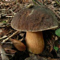 Грабовый белый гриб — с серовато-коричневой шляпкой