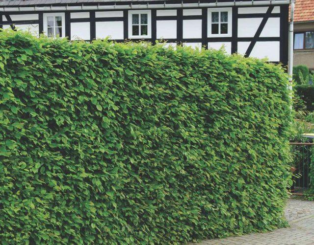 Граб обыкновенный (Carpinus betulus L.)