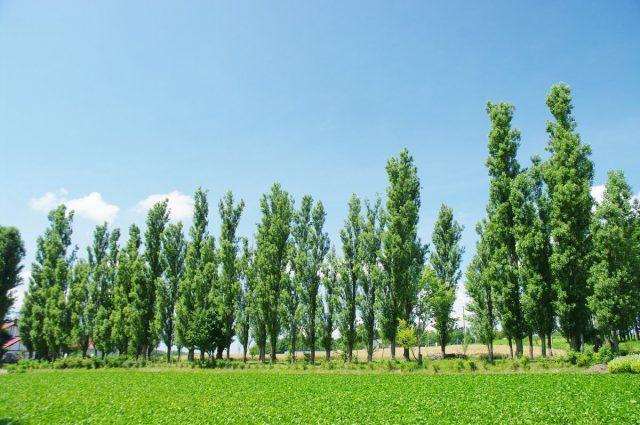 Тополь берлинский (Populus x berolinensis K.Koch)