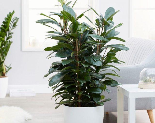 Если совсем не удобрять фикус и не пересаживать, то растение перестанет расти