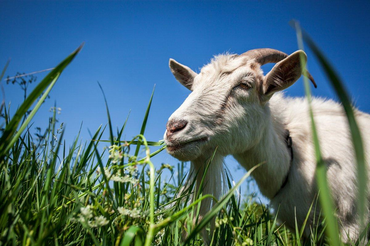 можно ли кормить козу овсом