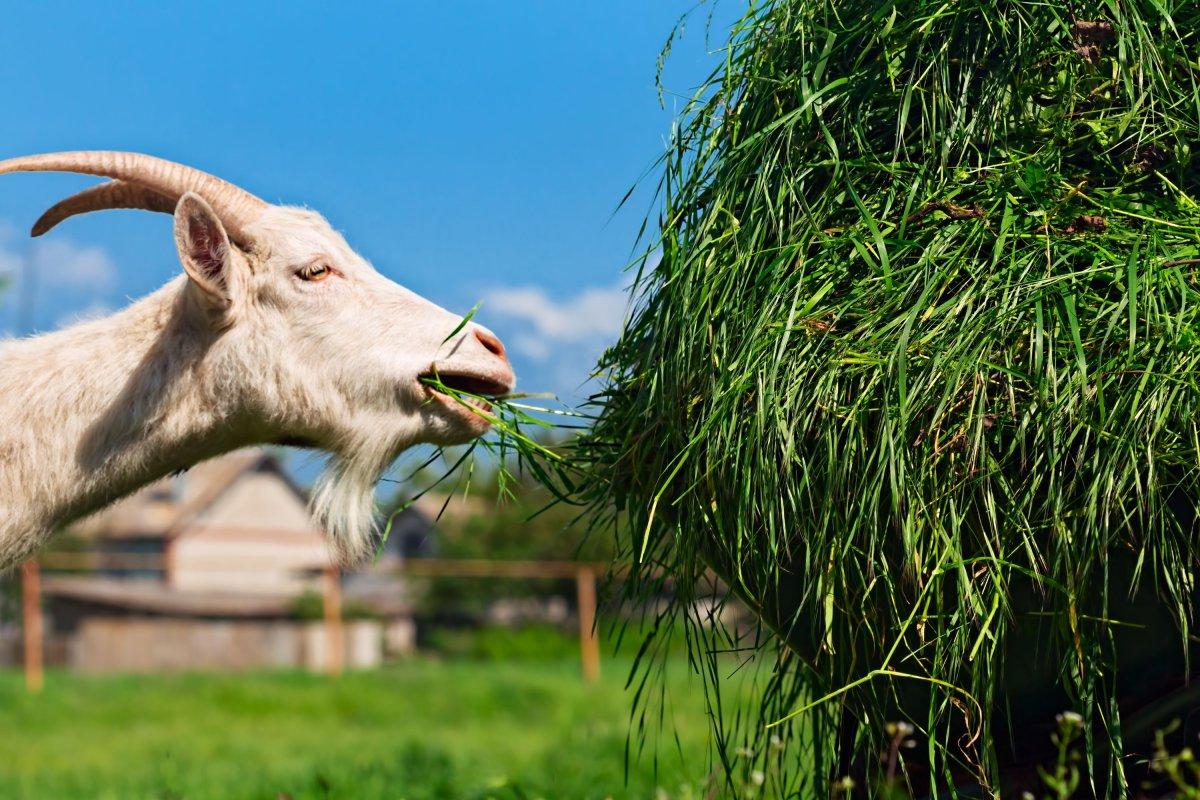 Можно ли кормить коз коноплей конопля pure power plant