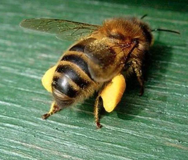 Вот в таких «штаниках» из пыльцы пчёлки возвращаются в улей. Нектара не видно, он в зобике