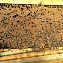 Крышечки, которыми запечатаны медовые соты, называются забрус