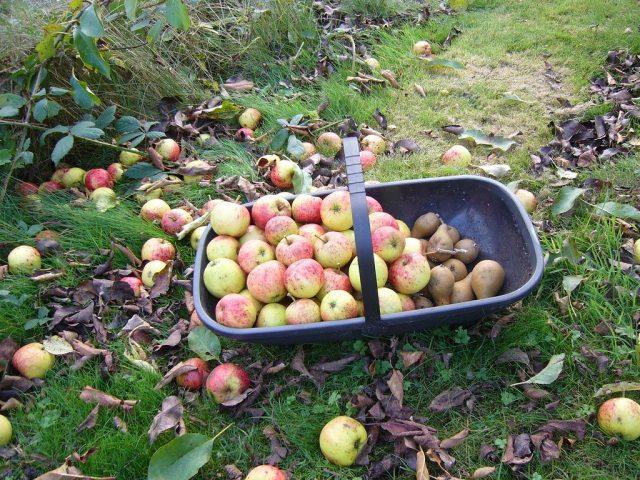 Нужно убрать все упавшие и уже подгнившие плоды, а также собрать весь урожай поздних яблок и груш