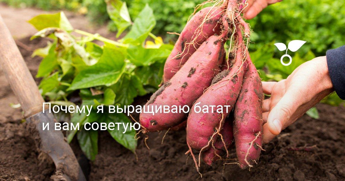 Батат – выращивание своими руками пошагово