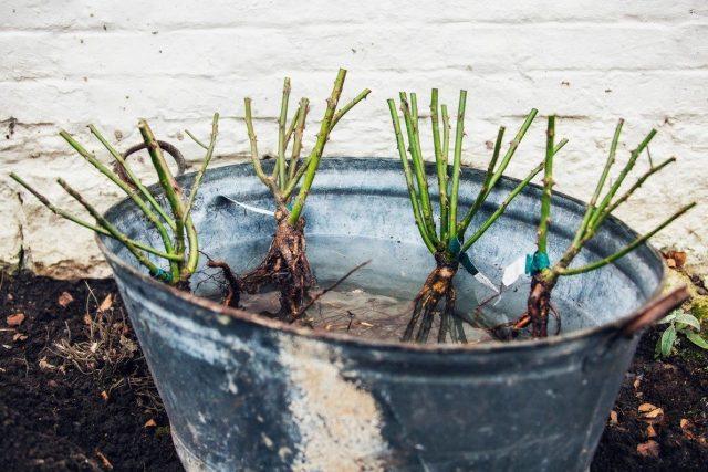 Покупать розы с открытой корневой системой для осенней посадки лучше непосредственно перед высадкой