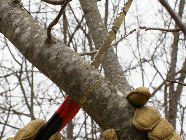 Омолаживающая обрезка — освобождение дерева или кустарника от старых веток, чтобы освободить место для роста новых