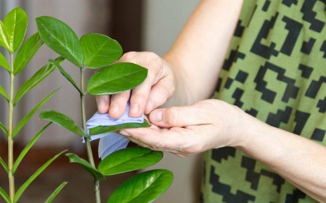 Гигиенические меры для комнатных растений осенью имеют критическое значение