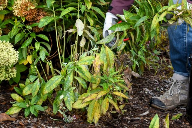К концу сентября большая часть многолетних растений уже отцвела и можно приступать к обрезке