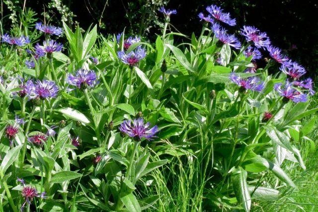 Василек горный (Centaurea montana)