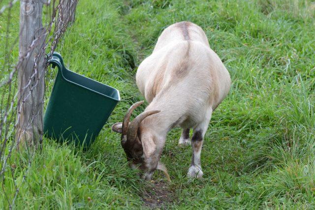 Точно диагностировать беременность козы можно только по увеличению живота