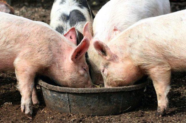 Влажные корма — самая благоприятная еда для пищеварения свиней, так как для переваривания пищи нужно много воды