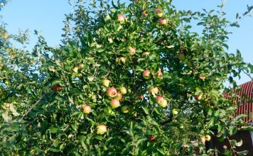 Карликовые яблони в моём саду — сорта и особенности выращивания