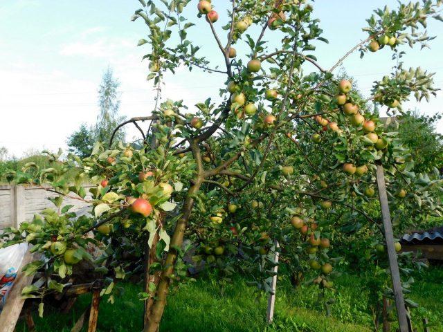 Специалисты советуют во время созревания яблок ставить под ветки подпорки или устраивать шпалеры