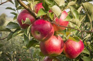 Яблоня «Серебряное копытце»