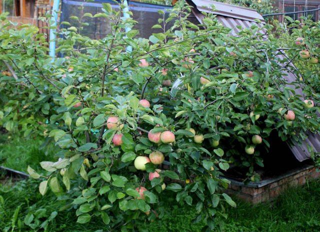 Карликовая яблоня (Malus pumila), сорт «Брат Чудного»