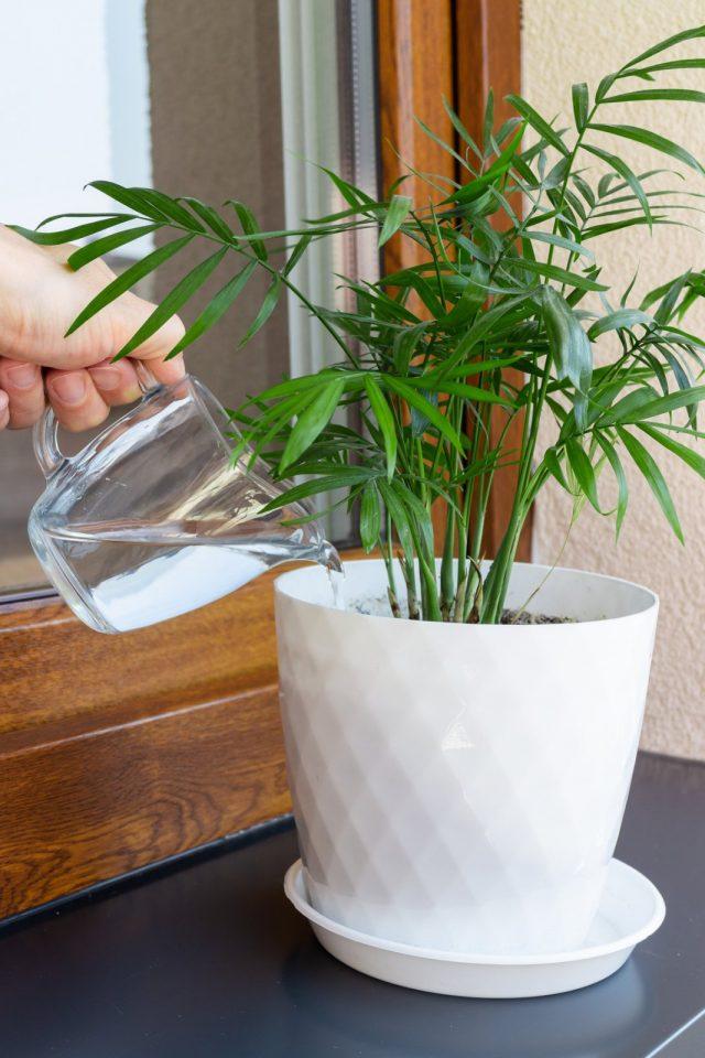 Полив теплой водой — важнейшее условие и мера, предупреждающая многие проблемы развития пальм зимой