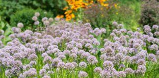 Лук-слизун — полезное и вкусное украшение сада