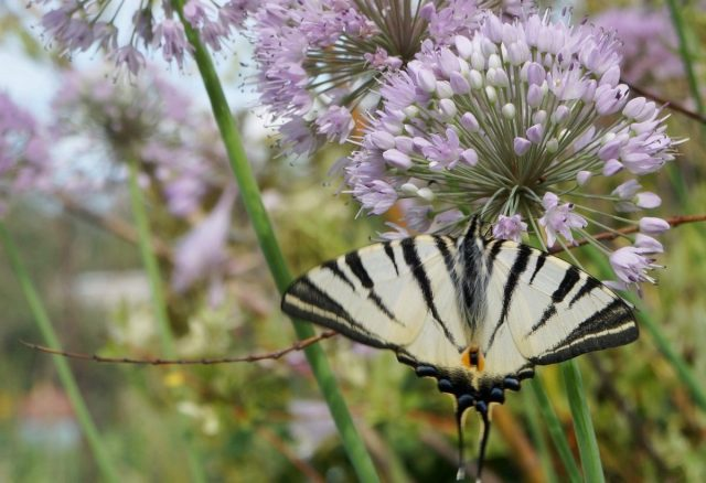 Благодаря присутствию лука-слизуна в нашем саду, мы можем наблюдать у себя в цветнике бабочек редких видов