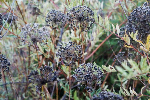 Даже глубокой осенью лук-слизун продолжает украшать цветник
