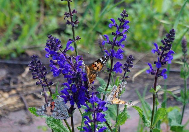 Шалфей привлекает к себе огромное количество бабочек