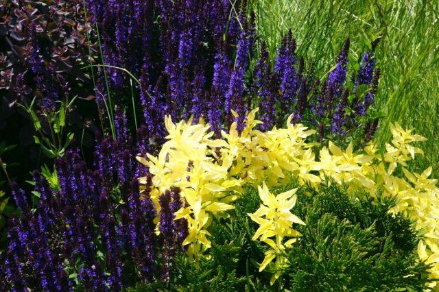 Шалфей в цветнике — первая волна цветения