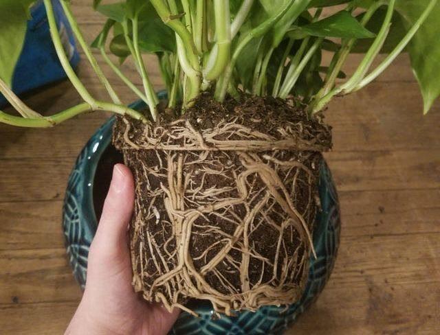 Если корневой ком очень плотный, корни комнатного растения при осенней пересадке нужно распутать