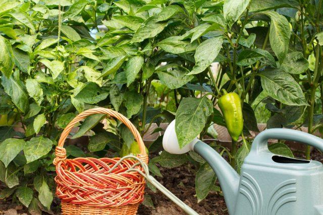 В течение всего лета, пока наливаются перцы, я поливаю их зольным раствором 1 раз в 10 дней