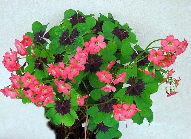 Оксалис Деппе (Oxalis deppei) и его гибриды сбрасывают листья на зиму