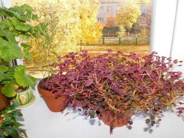 Начиная с сентября-октября поливы для всех без исключения кислиц сокращают