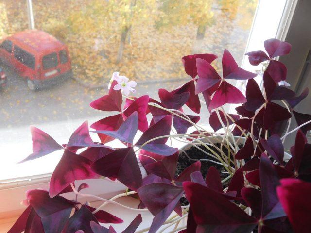 Для оксалиса треугольного и других видов, способных цвести больше 9 месяцев, на зиму подкормки уменьшают, но не останавливают