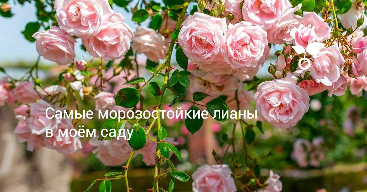 Лиана сиреневые цветы