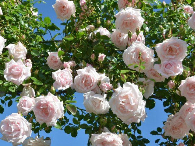 Роза «Нью Доун» (New Dawn)