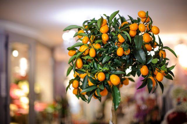 С точки зрения цветовой палитры и влияния на пространство идеальными растениями для детской справедливо считают цитрусовые, например, комнатный лимон