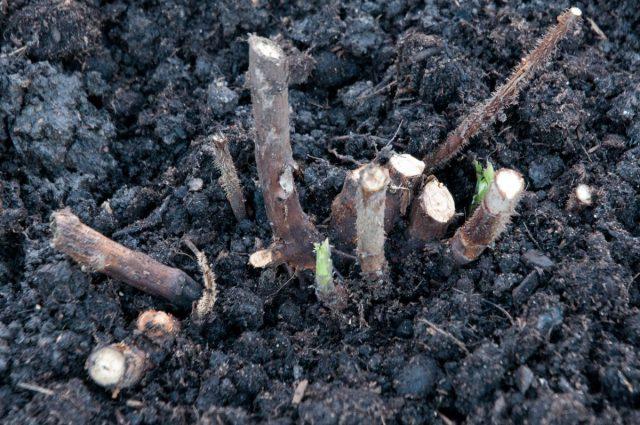 Если нужно добиться массового сбора ягод ремонтантной малины, то обрезаются все выгонки под корень