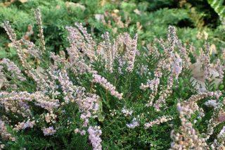 Вереск обыкновенный «Раднор» (Calluna vulgaris 'Radnor')