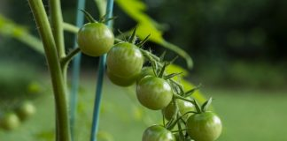 Зеленые черри — бесполезная экзотика или вкуснейшие томаты?