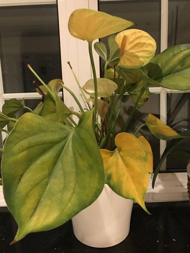 Если предпринять меры вовремя, антуриум быстро восстановит и привычные окрасы, и нормальное развитие, и цветение