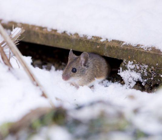 5 способов защитить сад от грызунов зимой