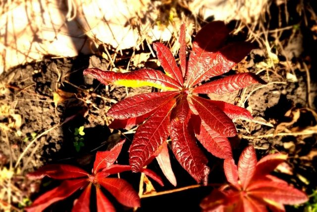 Азалия японская (Rhododendron molle subsp. japonicum)