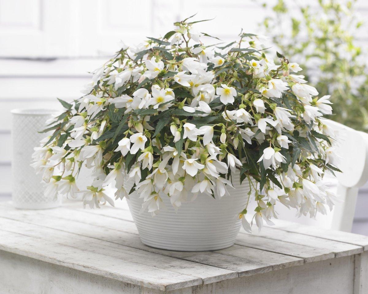 Begonia-Beauvilia-White-2
