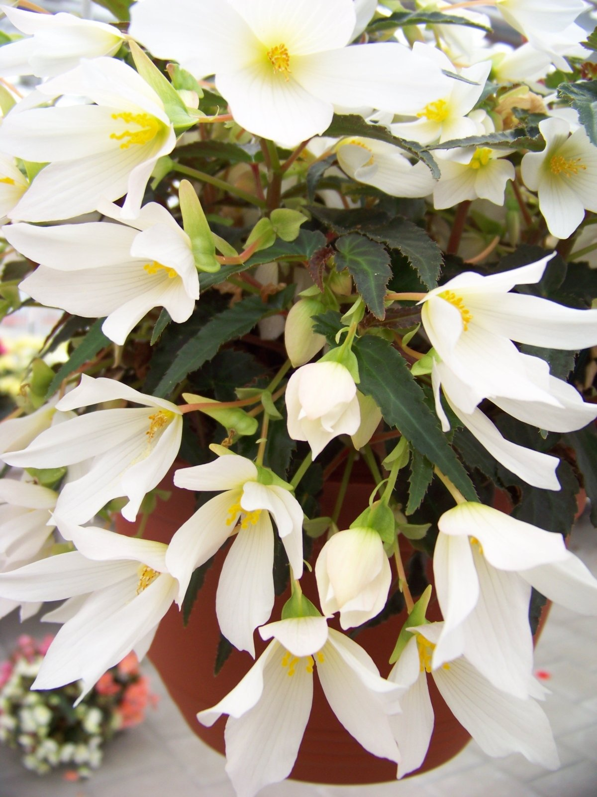 Begonia-Beauvilia-White-3